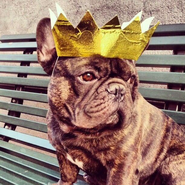 Boss thefrenchbulldogg