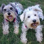 Fashion Friday - Schnauzer Sisters ft