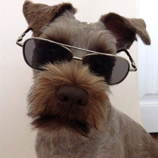 One of the coolest mini schnauzers i ever did see