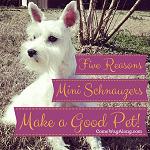 Miniature Schnauzers Make a Good Pet ft