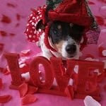 Sweetie the Jack Russell Terrier - Love ft