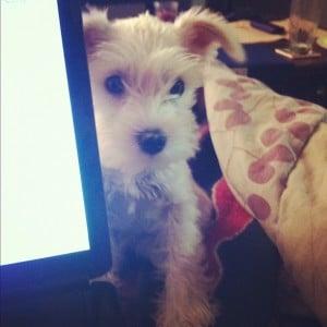 Dog at computer.