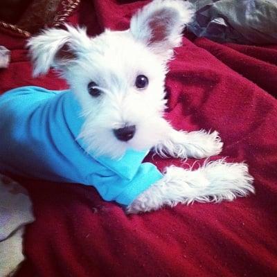 Dog in polo shirt