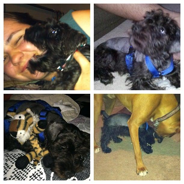 dogs, mini schnauzer, boxer