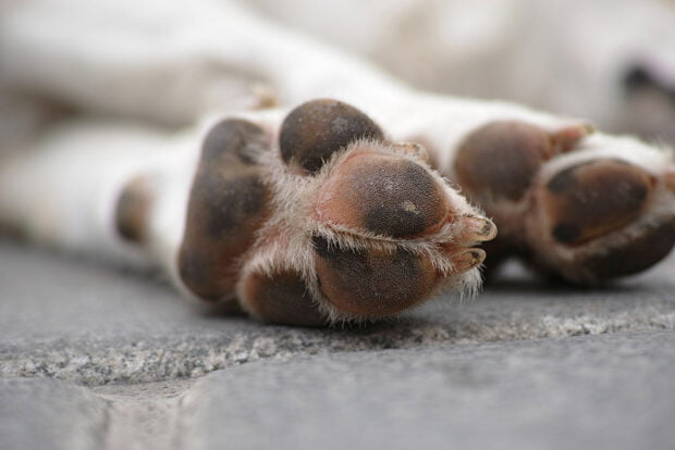 dog paw pads in the summer