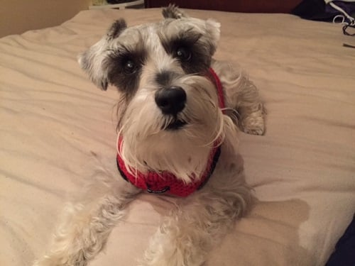Bella Mini Schnauzer - Dog Sweater