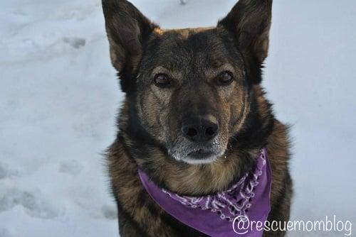Rolo German Shepherd Husky - Dog Bandana