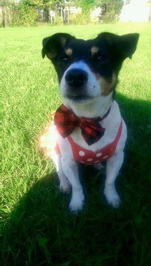 Fashion Friday: Sweetie the Jack Russell Terrier - ComeWagAlong.com