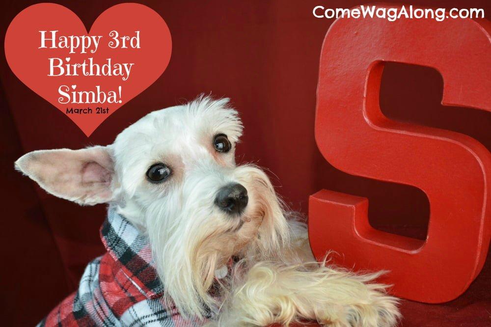 It's Simba the Mini Schnauzer's 3rd birthday!  Check out his birthday photo shoot and tell him happy birthday! - ComeWagAlong.com