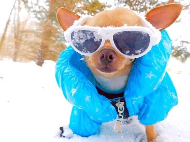 Wheels the Tiny Chihuahua - cool dog