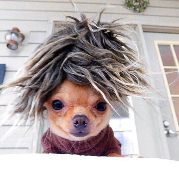 Wheels the Tiny Chihuahua - dog costume