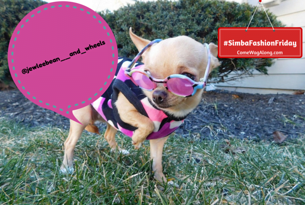 Wheels the Tiny Chihuahua - dog with sunglasses