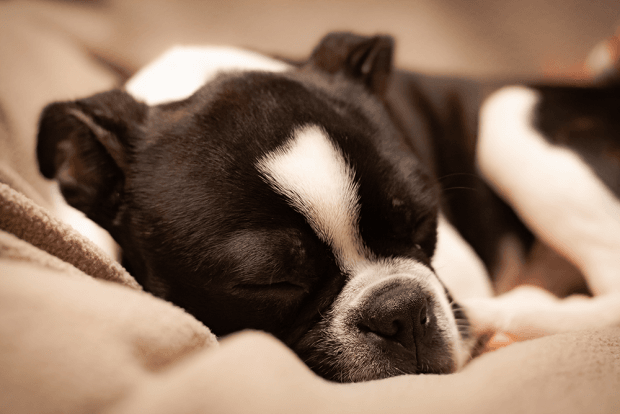 do dogs dream - what do dogs dream about