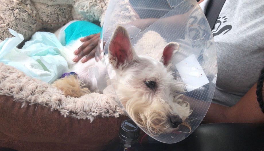 dog surgery - cone of shame
