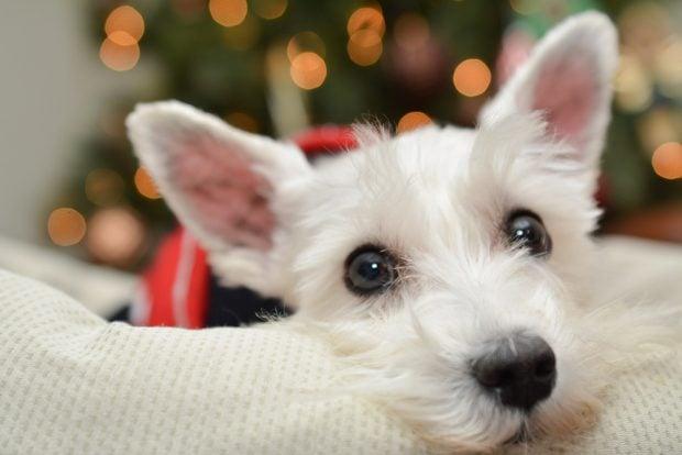 dog christmas photos