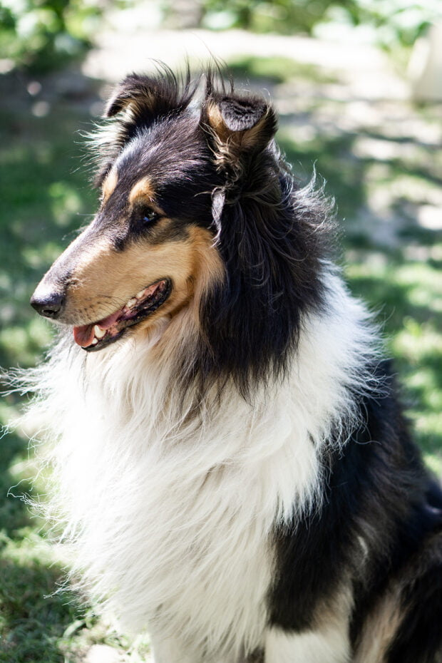 collie - best dog for kids