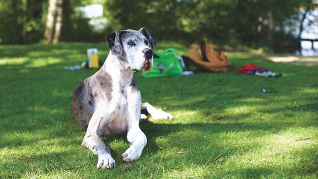 great dane - family dogs
