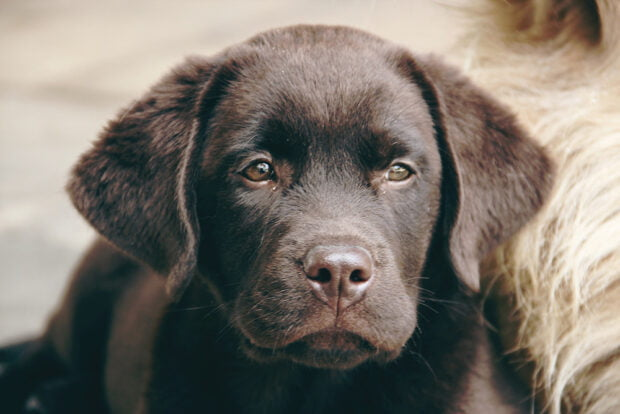 labador retriever - best family dogs