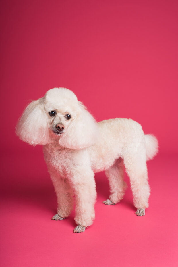 poodle - best dogs for kids